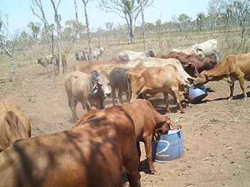 Cattle with lick drums