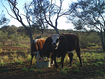 Cattle on supplement