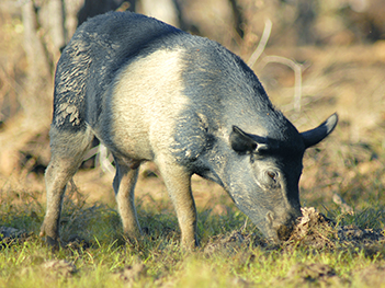 Feral pig damaging land. Photo by W Lawler Australian Wildlife Conservancy